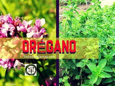 Orégano Planta de la Familia Lamiáceas