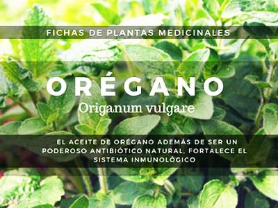 oregano-Origanum-vulgare