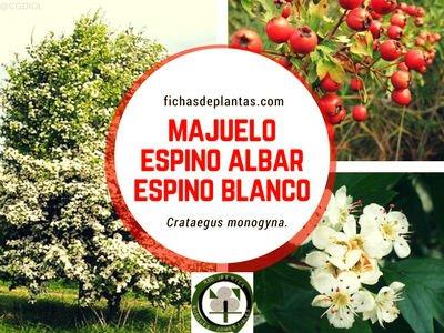 Majuelo o Espino Albar o Espino Blanco