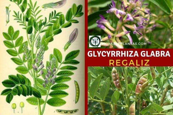 Glycyrrhiza glabra, Regaliz