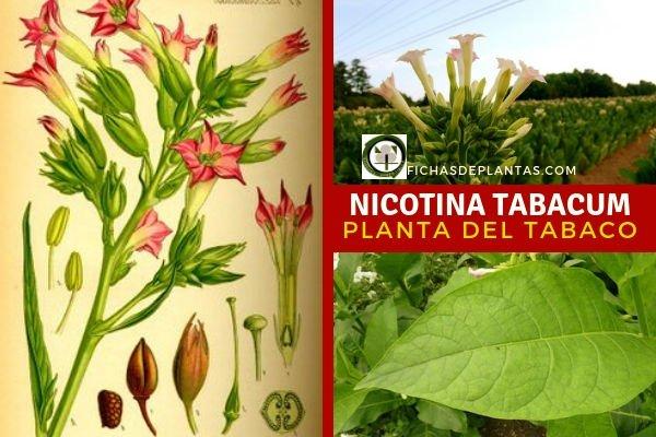 Nicotina tabacum, Tabaco