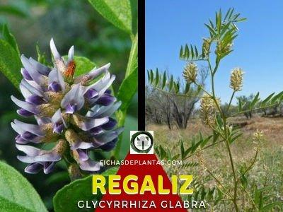 Regaliz Planta Medicinal