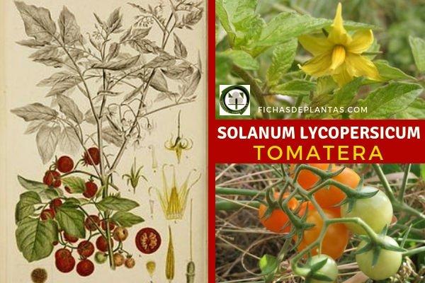 Solanum lycopersicum, Tomatera