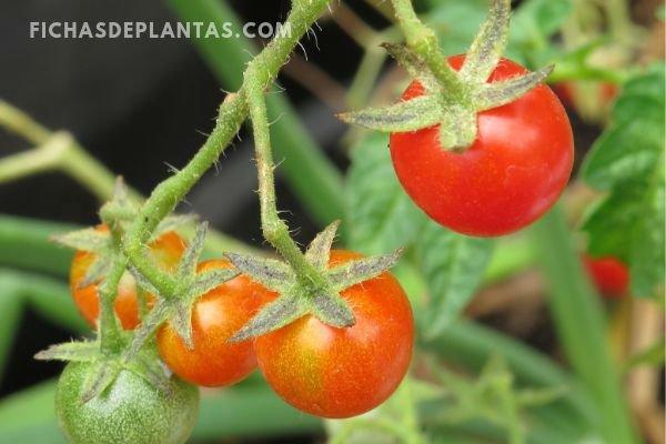 Fruto del tomate Cherry