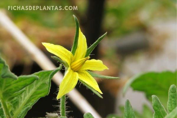 Flor de la Tomatera, Imagen