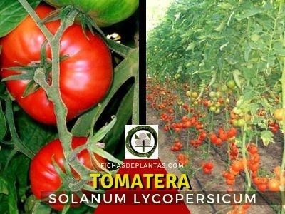 Tomatera, Solanum lycopersicum | Descripción Botánica y Propiedades Medicinales