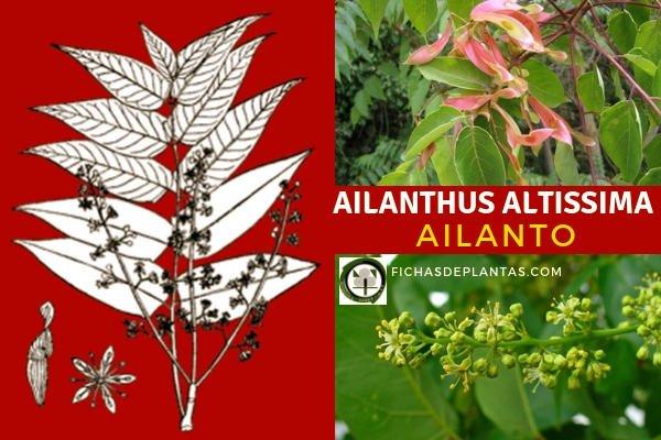 Ailanthus altissima, Ailanto