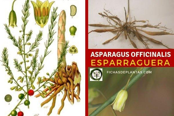Asparagus officinalis, Esparraguera