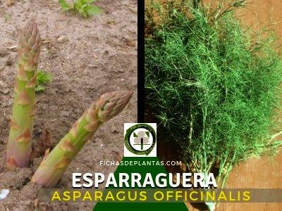 Esparraguera, Asparagus officinalis | Descripción y Propiedades