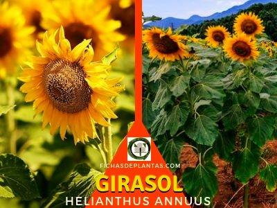 Girasol, Helianthus annuus