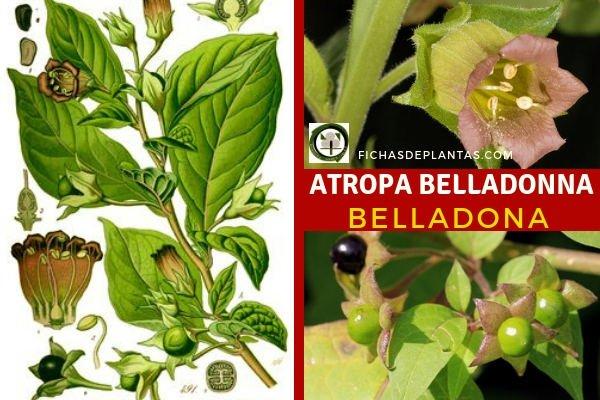 Atropa belladonna, Belladona
