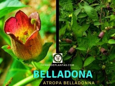 Belladona | DESCRIPCIÓN BOTÁNICA Y PROPIEDADES MEDICINALES