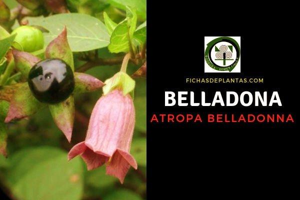 Belladona Propiedades Medicinales