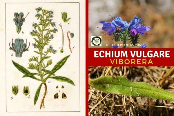 Echium vulgare, Viborera