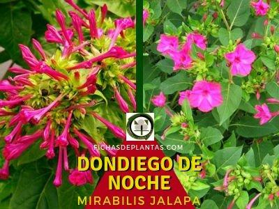 Dondiego de noche, Mirabilis jalapa | Ficha Descriptiva y Propiedades