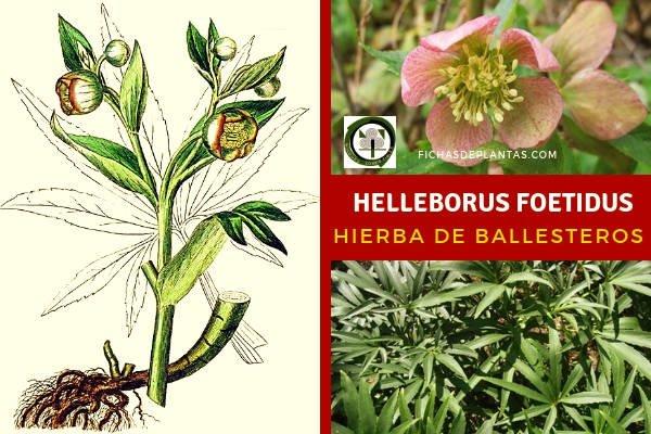 Helleborus foetidus, Eléboro Fétido