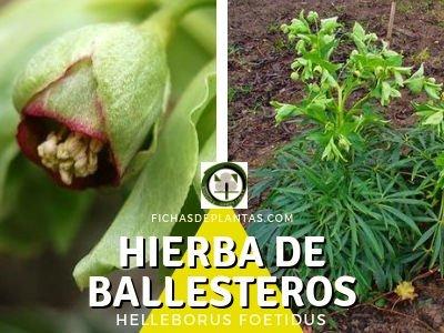 HIERBA DE BALLESTEROS, Helleborus foetidus | Ficha y Propiedades