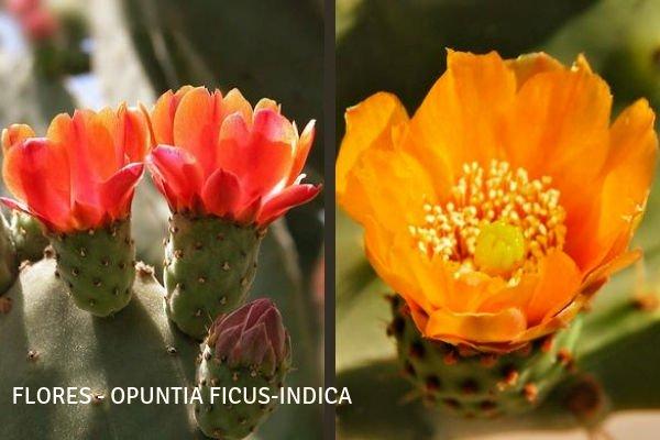 Flores del Nopal