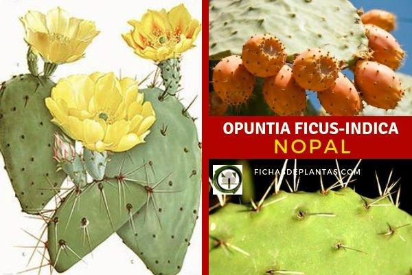 Opuntia ficus-indica, Nopal