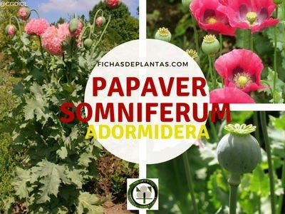 Adormidera, Papaver somniferum- Ficha Descriptiva y Propiedades