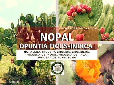 El Nopal o Chumbera || DESCRIPCIÓN Y PROPIEDADES MEDICINALES