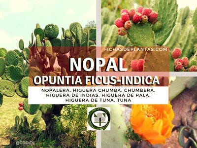 Nopal, Opuntia ficus-indica
