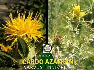 Cardo Azafrán, Planta Medicinal