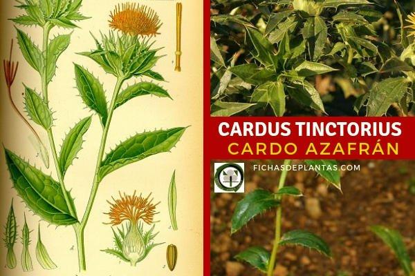Cardus tinctorius, Cardo