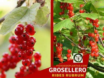 Grosellero, Ribes rubrum | Ficha Descriptiva y Propiedades