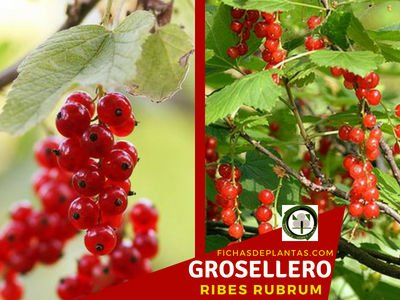 Grosellero, Planta Medicinal