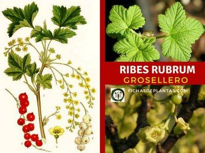 Ribes rubrum, Grosellero