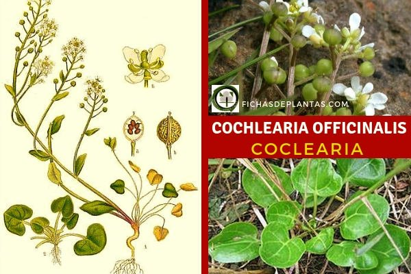 Cochlearia officinalis, Cocleria