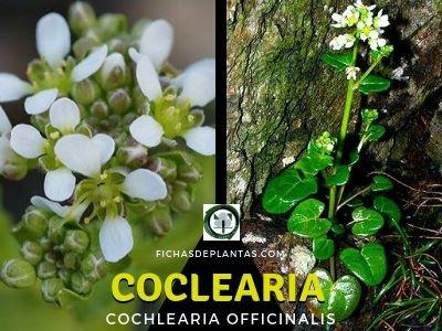 Coclearia Planta Medicinal