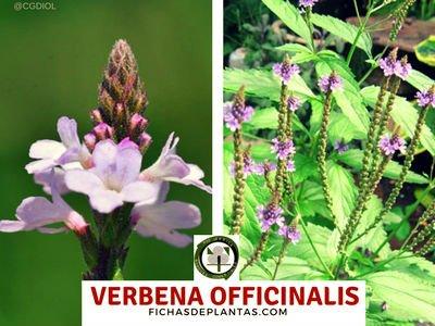 Verbena officinalis, Verbena