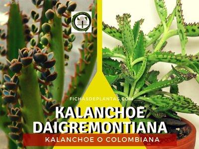 Kalanchoe daigremontiana, Planta Medicinal