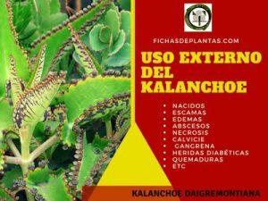 Kalanchoe uso externo
