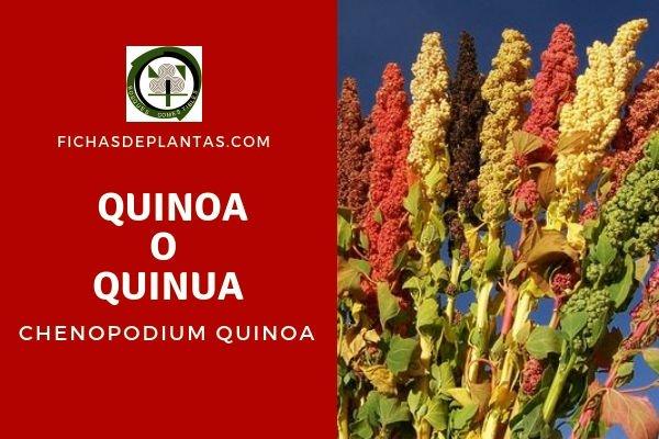 Quinoa o Quinua