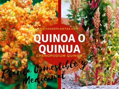 Quinoa Planta Comestible y Medicinal