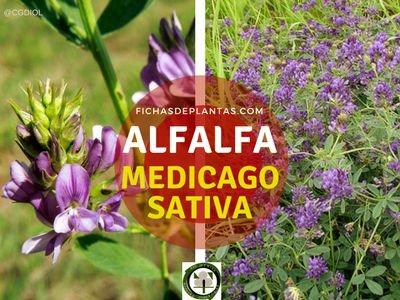 Alfalfa Planta de la familia de las Leguminosas
