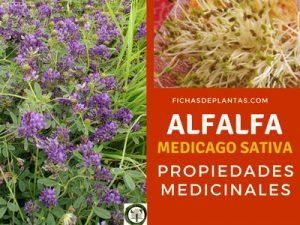 Alfalfa Propiedades Medicinales