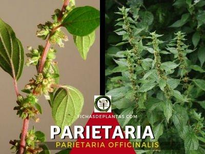 Parietaria, Parietaria officinalis | DESCRIPCIÓN Y PROPIEDADES