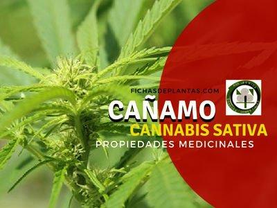 Cannabis sativa Propiedades Medicinales