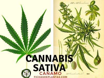 Cannabis sativa, Cañamo