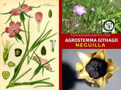 Agrostemma githago, Neguilla