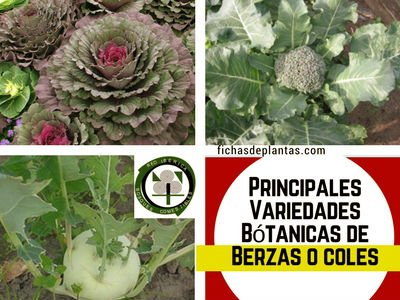 Berza-variedades