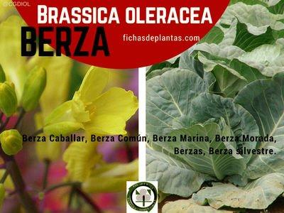Berza, Brassica oleracea  | DESCRIPCIÓN Y PROPIEDADES MEDICINALES