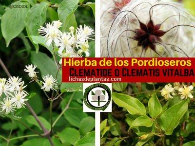 Clematis-planta