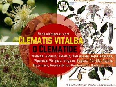 Clematis vitalba o Clematide
