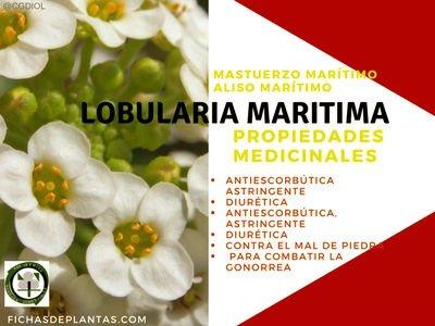 Lobularia maritima, Propiedades Medicinales