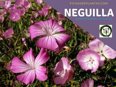 Neguillas Planta Cariofiláceas
